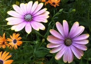 Osteospermum - The African Daisy